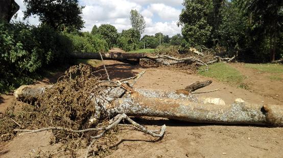 Tramo del camino Gambo-Arsi Neguele bloqueado por árboles.